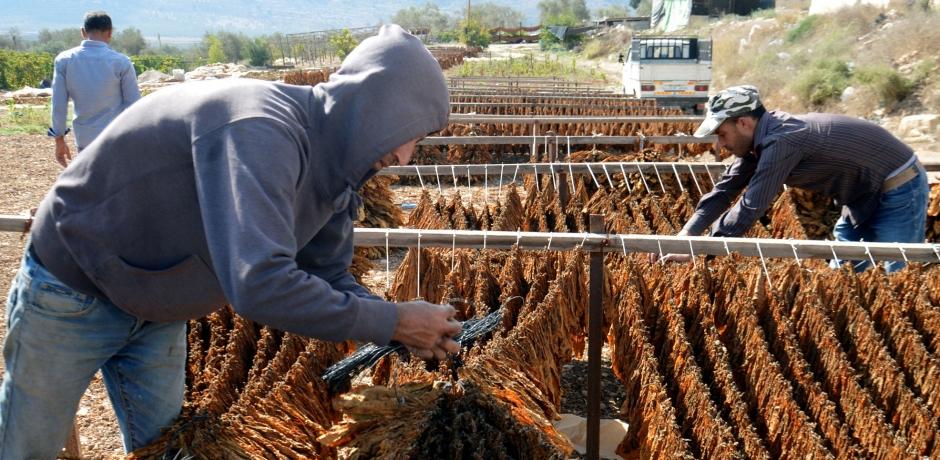 Cultures et influence de l'industrie du tabac au Maroc