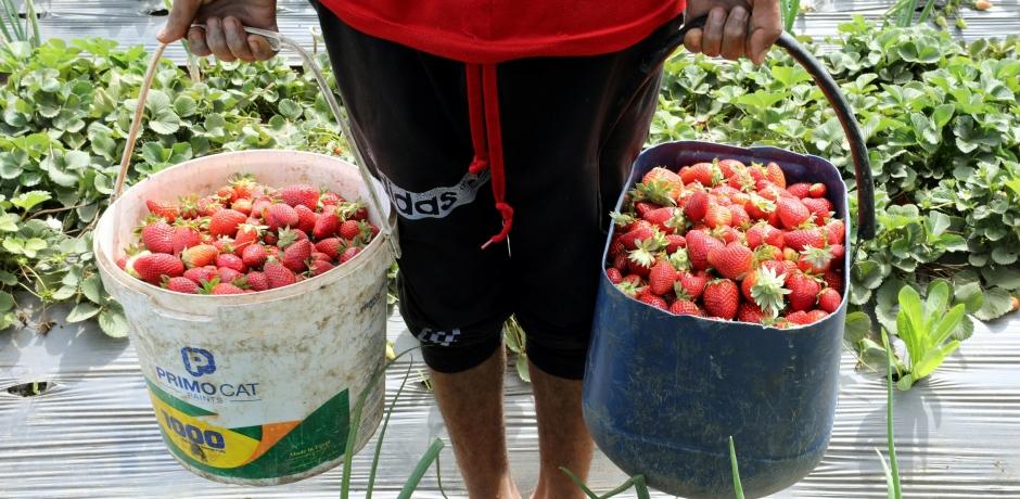 Le coût humain des fraises espagnoles