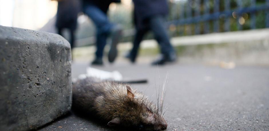 الفئران تغزو باريس