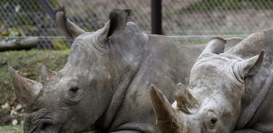 Vente controversée de cornes de rhinocéros