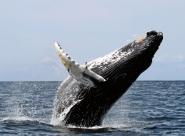 Le Japon harponné sur la chasse à la baleine