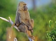 Les primates de Côte d'Ivoire en danger