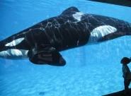 Seaworld: liberté pour les orques!