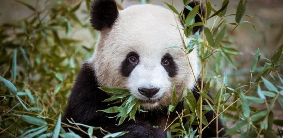 Touche pas à mon panda!