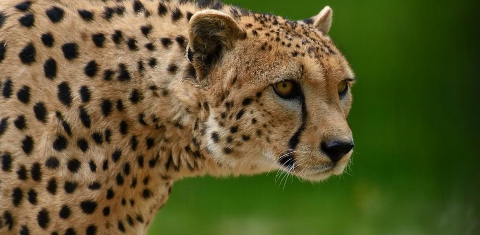Menaces sur les guépards!