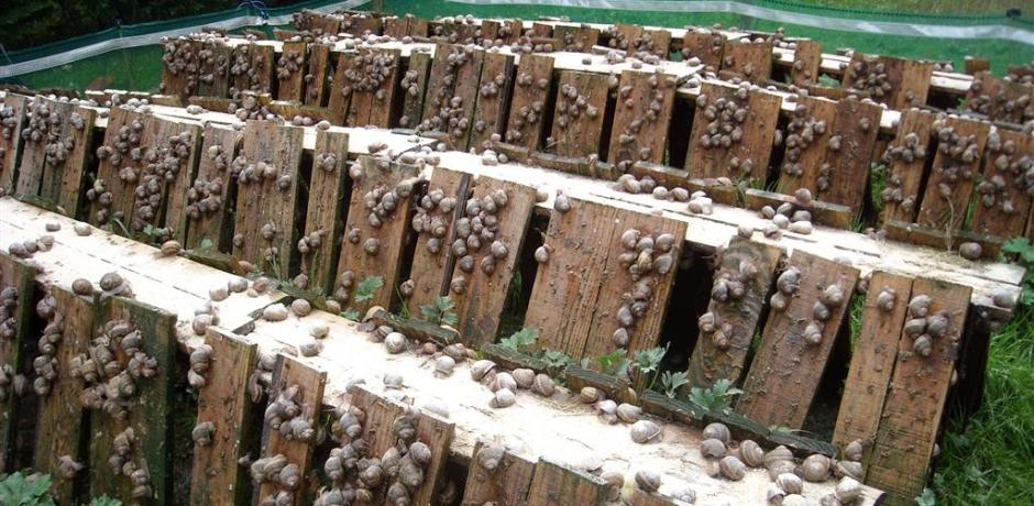 أي آفاق لقطاع تربية الحلزون بالمغرب؟