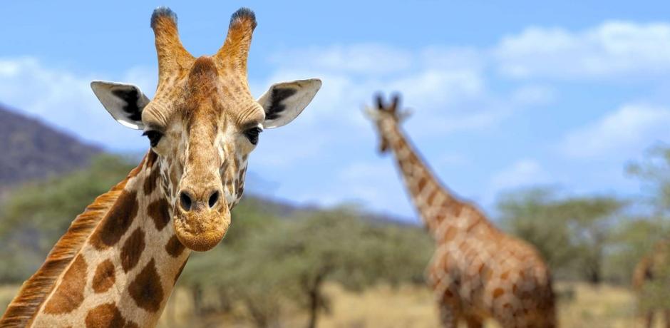 Girafe: Une icône de l'Afrique est en danger