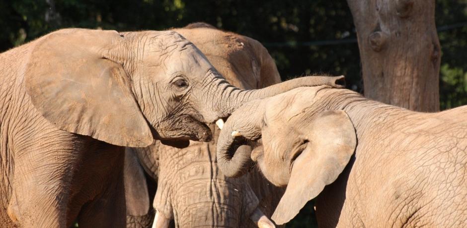 Afrique du Sud : guerre totale contre le braconnage des éléphants